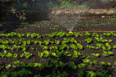 Watering Rows of Young Green Seedlings in Garden — Stock Photo
