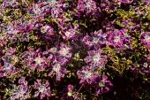 Purple Flowers Growing on Shrub — Stock Photo