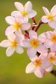 Frangipani plumeria — Stock Photo