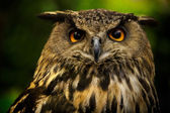 Closeup Owl — Stock Photo