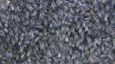 Bee colony life through glass — Stock Video