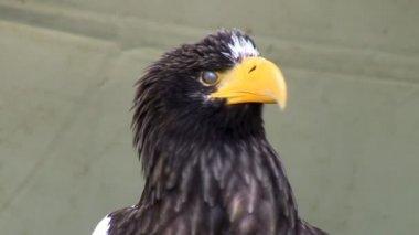 Stellers sea eagle head — Stockvideo