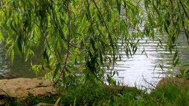 Hiding under willow tree — Stock Video