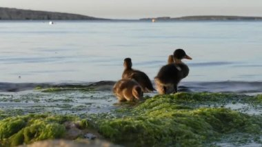 Duck and ducklings on the seaside — Stock Video