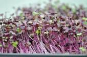 Microgreen Herbs — Stock Photo