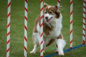 Australian Shepherd Agility — Stock Photo