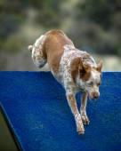 Cattle Dog Agility — Stock Photo