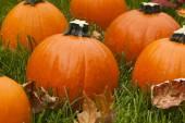 Organic Orange Pie Pumpkin — Stock Photo