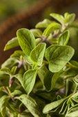 Raw Green Organic Oregano — Stock Photo
