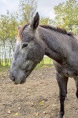 Young grey horse — Stock Photo