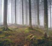 Beautiful foggy forest with pines — Stock Photo
