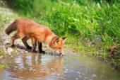 Red fox — Stock fotografie