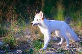 White-red fox — Stock Photo