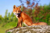 Red fox on nature — Stock fotografie