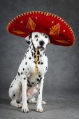 Dog studio photo — Stock Photo
