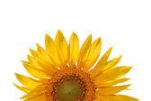 Close up sunflower on white background. — ストック写真
