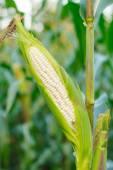 Mais sul gambo nel campo del cereale — Foto Stock