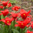 Colorful tulips, tulips in spring — Stock Photo #72069379
