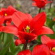 Colorful tulips, tulips in spring — Stock Photo #72069025