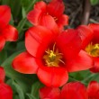 Colorful tulips, tulips in spring — Stock Photo #72069345