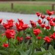 Colorful tulips, tulips in spring — Stock Photo #72069687