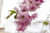Flor rosa de Sakura floresce — Fotografia Stock