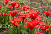 Colorful tulips, tulips in spring — Stock Photo