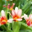Colorful tulips, tulips in spring — Stock Photo #72102845