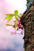 Pink Sakura flower blooming — Stock fotografie