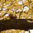 Squirrel on tree branch — Stock Photo #55158433