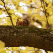 Squirrel on tree branch — Stock Photo #55158451