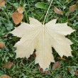 Frosted maple leaf on grass — Stock Photo #55159075