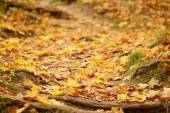 Leśną drogą z korzeni objętych jesienią liście — Zdjęcie stockowe