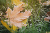 Frosted maple leaves on grass — Foto Stock