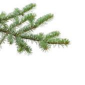 Green fir branch for christmas — Stock Photo