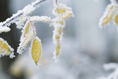 Bush yellow leaves covered with rime — Foto de Stock
