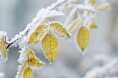 Bush yellow leaves covered with rime — Stock Photo