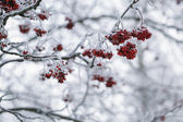 Rowanberries covered with hoarfrost in the winter morning — Stock Photo