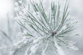 Frosty pine twigs in winter covered with rime — Stock Photo