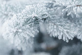 Frosty fir twigs in winter covered with rime — Stock Photo