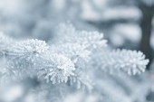 Winter background with frosty fir branches — Stockfoto