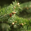 Closeup photo of fir branch with buds — Stock Photo #61840127