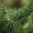 Closeup photo of fir branch with buds — Foto de Stock   #61840143