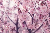 Sakura in bloom close up photo, effect toned photo — Stock Photo
