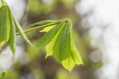 Young chestnut leaves close up — Stock Photo
