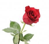 Single red rose isolated on white background — Stock Photo