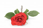 Single red rose isolated on white — Stock Photo
