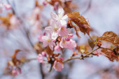 Spring sakura blossom close up — Stock Photo