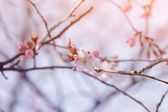Flower on sakura tree closeup — Stock Photo