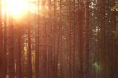 Coucher de soleil estival chaud dans la forêt de pins — Photo